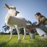 girl milking a goat
